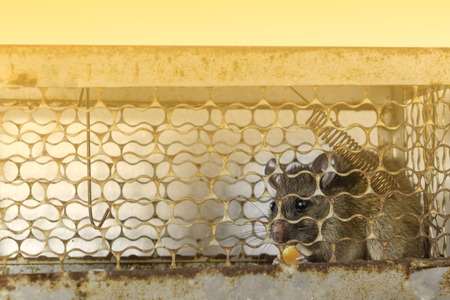 Brown rat trapped steel cage or mousetrap. The eyes of the rat indicates fear. Stock Photo