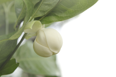 White magnolia flower bloomming and green leaf on tree, Southern, Thailand. Фото со стока