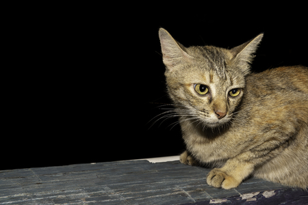 Closeup beautiful thai cat big eyes animal pet with isolated black background.