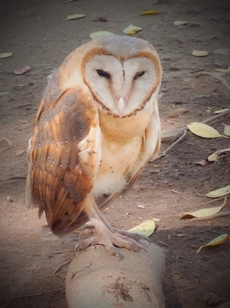 isolated: The owl