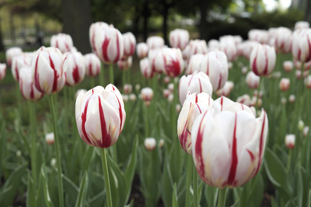 Tulip plant on a ground  in Downtown Ottawa Ontario on May 21, 2016. Imagens