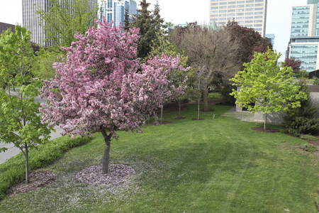 Blossom tree in Downtown Ottawa Ontario on May 21, 2016.