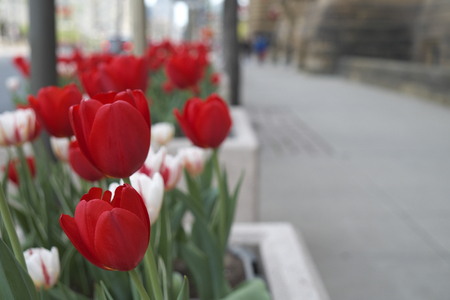 Tulip in Downtown Ottawa Ontario on May 21, 2016. Imagens
