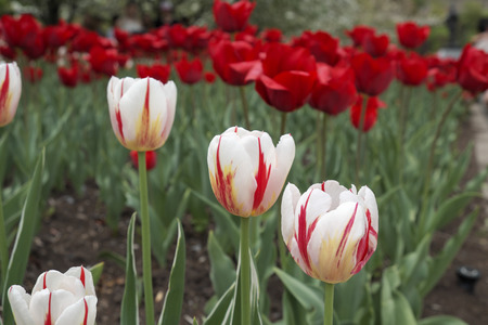 white and red tulip at Majors Hill Park in Downtown Ottawa Ontario on May 21, 2016