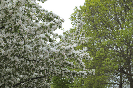 majors: white blossom flower at Majors Hill Park in Downtown Ottawa Ontario on May 21, 2016