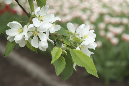white blossom flower at Majors Hill Park in Downtown Ottawa Ontario on May 21, 2016