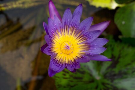 purple lotus: purple lotus on the pond.