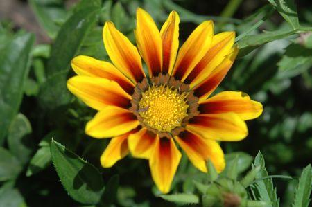 Blanketflower, Floridas state flower. Banco de Imagens