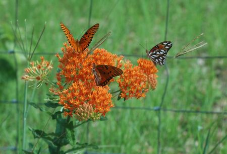 Butterflies amass on the butterfly weed plant. Banco de Imagens