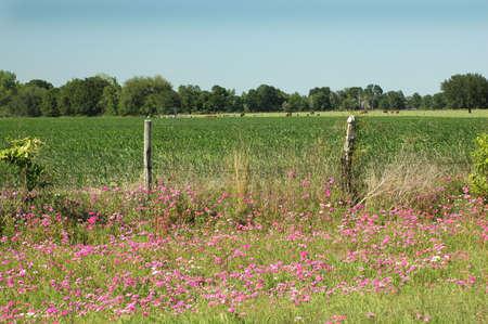 Silvestre Phlox junto a la campo de maíz. Foto de archivo - 404545