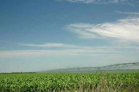 Un regador pulverizaciones de agua en el campo de maíz. Foto de archivo - 404527