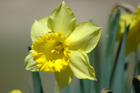 jonquil: The first spring jonquil peeks up into the sunlight.