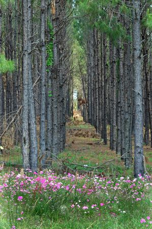 Rows of planted pines and wild phlox are a common sight in north central Florida in springtime.