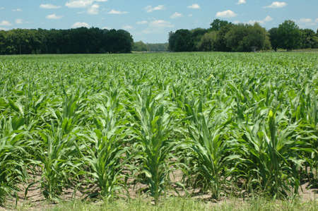 A field of new corn. Stock Photo