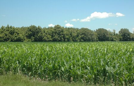 A field of new corn. Imagens