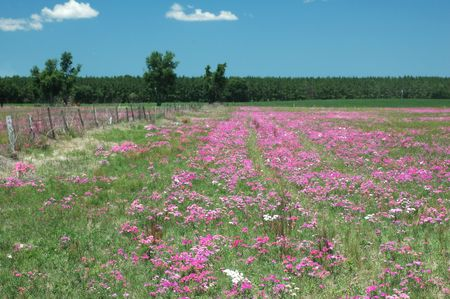 A field lays fallow and grows spring phlox wildflowers.