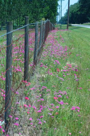 Phlox grow wild along the barbed wire fence. Stock fotó