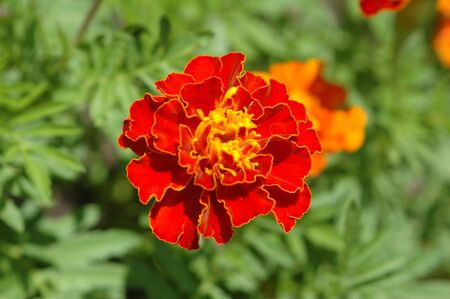 A marigold (Calendula officinalis) in the garden. 版權商用圖片
