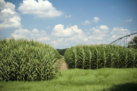 Mais righe crescere sotto la irrigator. Archivio Fotografico - 435201