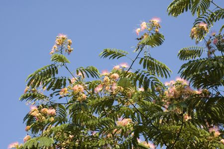 A mimosa tree with its spring blooms.
