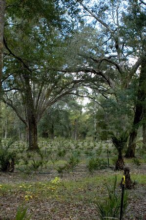 Palm trees grow in the understory beneath the live oaks at the nursery.