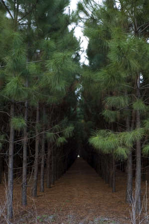 Rows of planted pines in Florida. Imagens