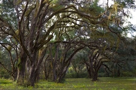 Live Oaks and Spanish Moss in a rural setting. Stok Fotoğraf