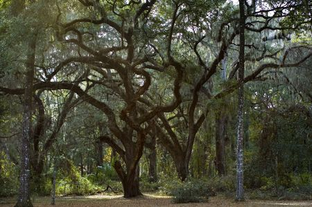Ancient live oaks with twisted limbs.