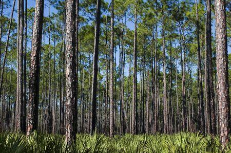 植えられた松とノコギリヤシ下層。