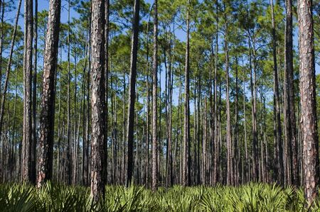 planted: Planted pines and a saw palmetto understory.