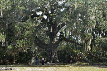 The Fairchild Oak, an ancient oak tree, in Ormond Beach, Florida.