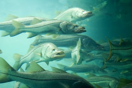 A school of snook in Florida.