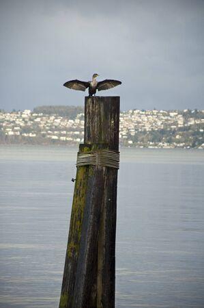 puget sound: Un cormorano asciuga le sue ali su una palificazione in tutto il Puget Sound di Tacoma, Washington.