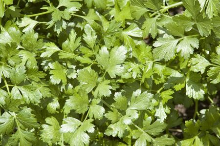 The leaves of a cilantro herb plant reflecting sunlight. Stock Photo