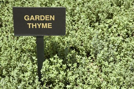 A patch of garden thyme (thymus vulgaris) with sign.