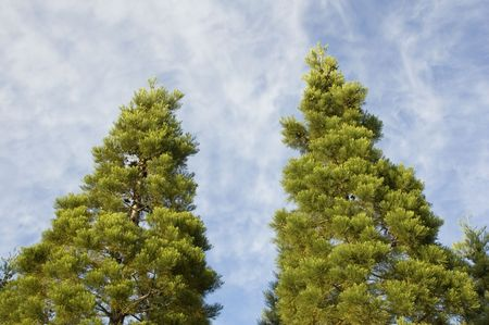 Two pine trees with blue sky and wispy clouds behind them. Stock fotó