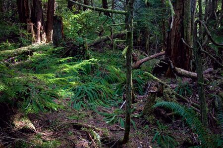 flattery: A lush forest in the rainy Pacific Northwest with ferns and moss, near Cape Flattery, the northwestern-most point in the continental U.S. Stock Photo
