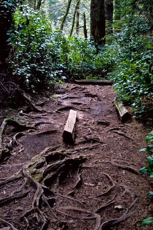 The twisted tree roots line the pathway through the lush rainforest. Banco de Imagens