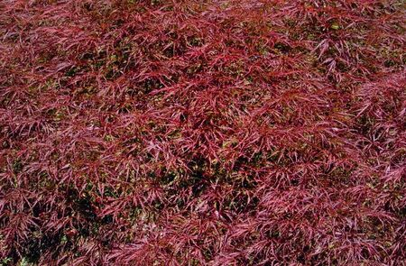 acer palmatum: A background of red Japanese maple (acer palmatum) leaves in spring in the Pacific Northwest, U.S.A.