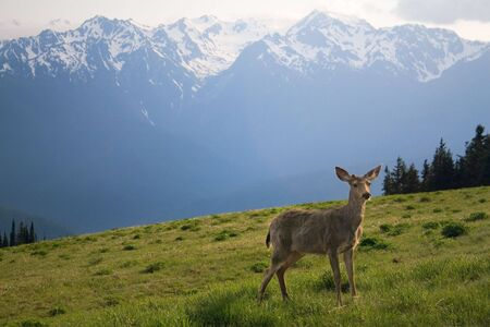 olympus: A young buck stands in the meadow before Mount Olympus and neighboring peaks at Hurricane Ridge in the sports competition National Park, near Port Angeles, Washington, USA. Stock Photo