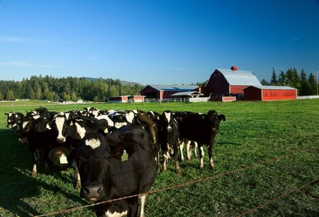 dairy cattle: Holstein dairy cattle in a green field with a red barn. Stock Photo
