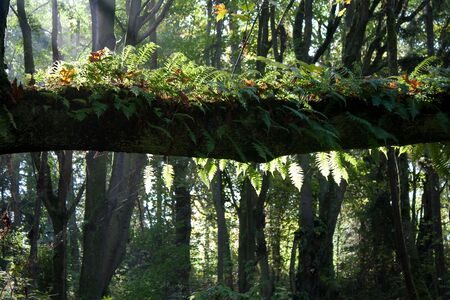 A thick tree branch with ferns and moss, and slanted sunlight in a Pacific Northwest forest in autumn. Stock Photo - 5905488