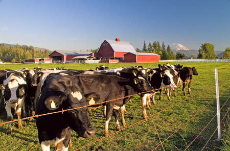 Dairy cattle behind barbed wire in the field with their red barn, with Mount Rainier in the distance, Enumclaw, Washington.
