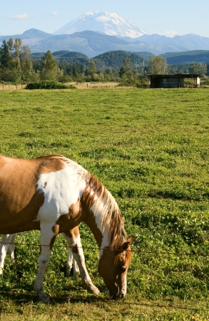 Paint horses enjoy the mild summer weather in a field near Mount Rainier, Washington  Stock Photo - 15085551
