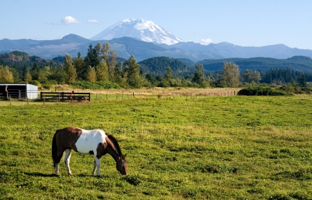 A paint horse enjoys the mild summer weather in a field near Mount Rainier, Washington