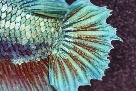 caudal: super close-up to skin and tail of green fighting fish Stock Photo