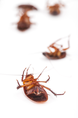 anus: cockroach is dead on white background
