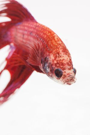 caudal: close up red scale of fight fish on white background Stock Photo