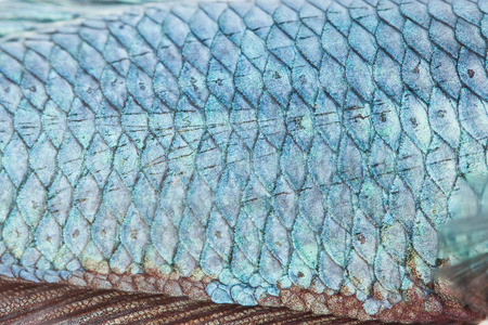 caudal: close up texture of fight fish