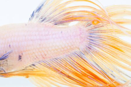 caudal fin: close up texture of fight fish on white background Stock Photo
